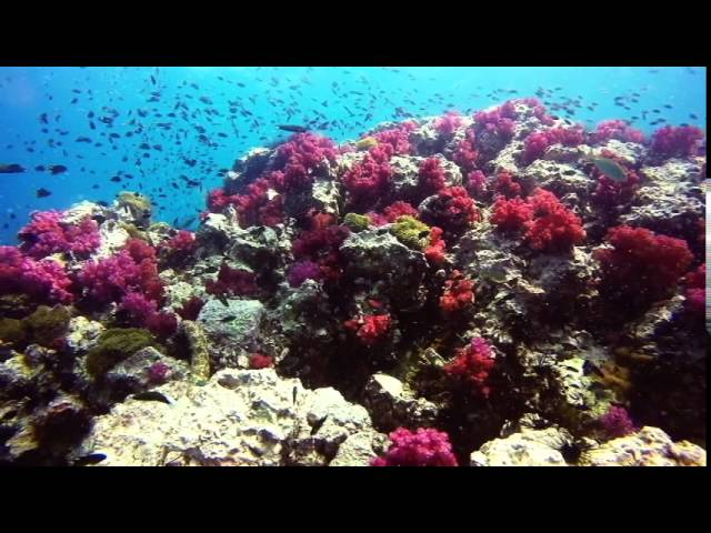 Anemone Reef Diving Phuket Thailand 26 August 2015 Moray Eel and Coral Reef