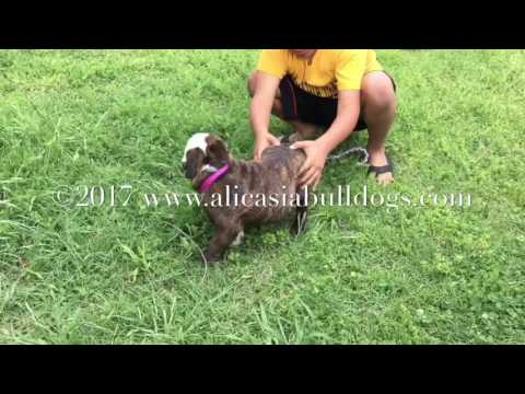 Minnie - AKC Red Brindle and White English Bulldog