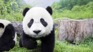 Giant panda symbol of the WWF  (Ailuropoda melanoleuca)