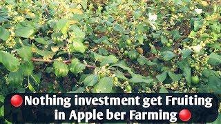 Investment Of Apple Ber Farming.(apple Ber Farming Main Kitna Paisa Lagta Hai ).