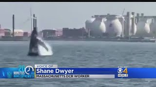 Whale Of A Tale: Multiple Humpback Whales Seen In Boston Harbor