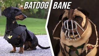 Ep #6: BATDOG vs. BANE - (Cute Dachshund & Pug in Funny Dog Video)