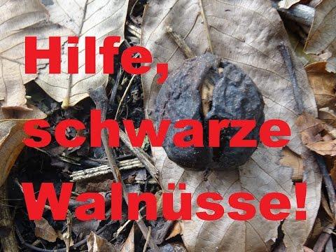 Schwarze Walnüsse- Walnussfruchtfliege, wie rette ich  meine Nüsse