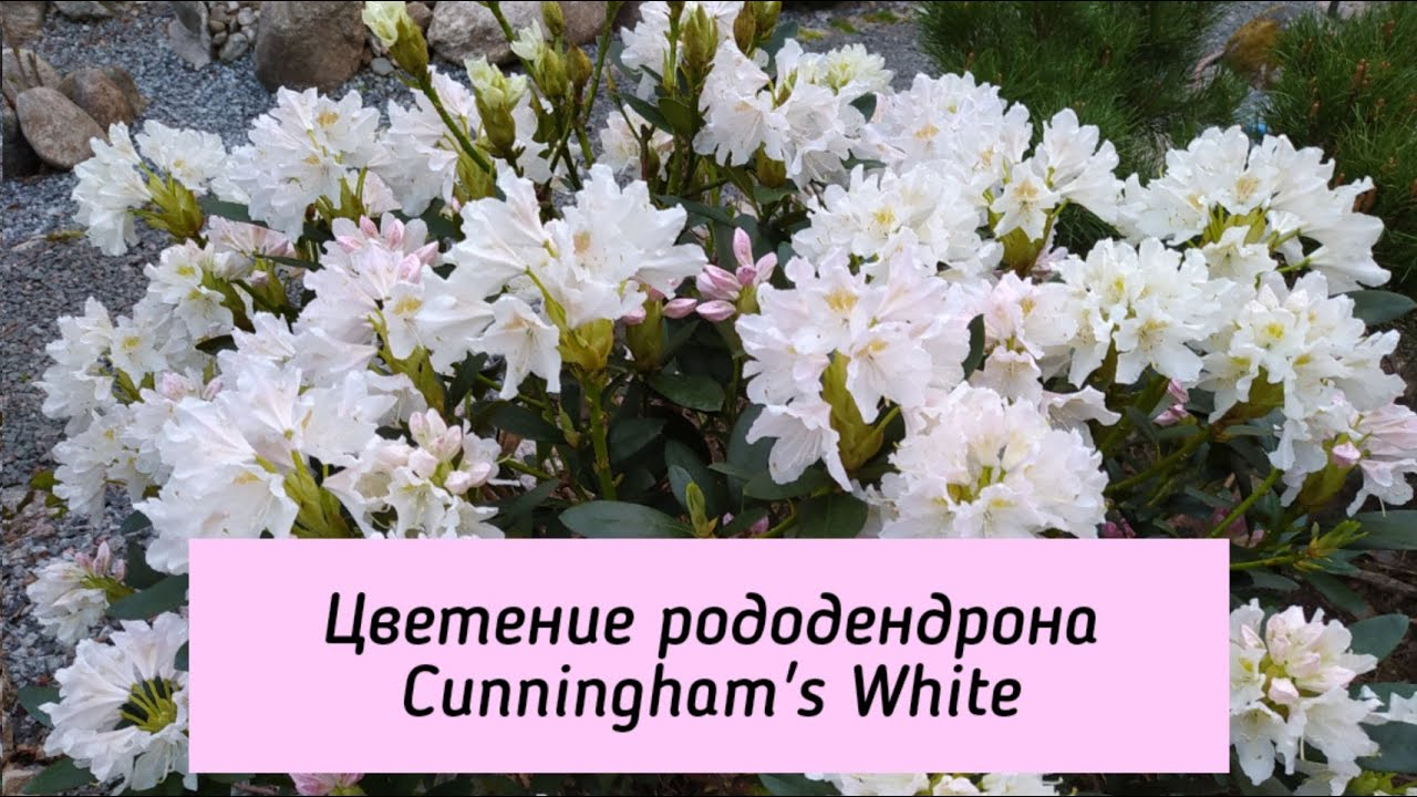 Цветение рододендрона Cunningham's White.