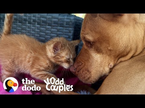 What Happens When You Leave a Kitten with a Pit Bull?