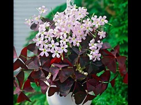 кислица (цветок Доброе утро)уход в домашних условиях