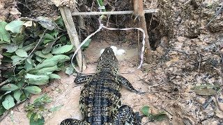 Wow!Awesome Creative Man Catches Crocodile By Quick Trap While Place This Trap Near Crocodile Eggs