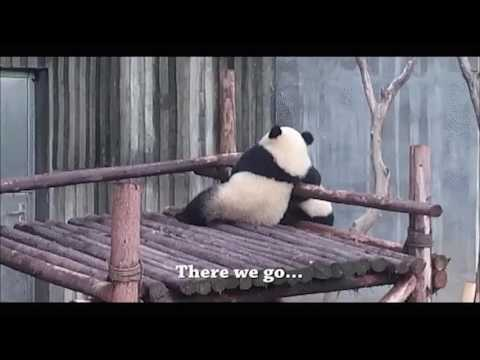 Brutal Panda Fight Over Bamboo