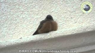 preview picture of video 'BirroComun_Hirundinea_ferruginea1'
