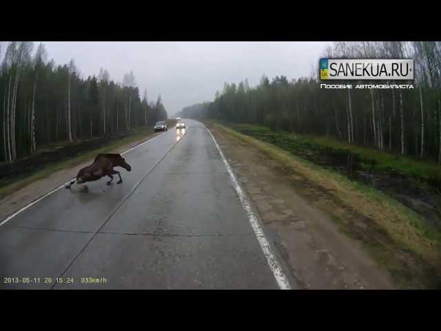 Осторожно, животные на дороге!