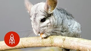 The Adorable Long-Tailed Chinchilla Fights to Survive