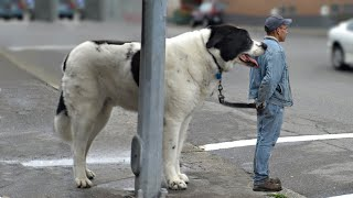 10 Giant Dog Breeds That Are Really Gentle