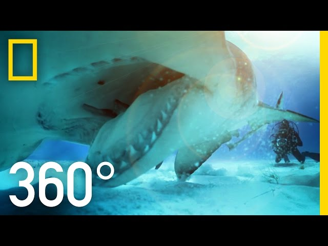 360° Great Hammerhead Shark Encounter | National Geographic