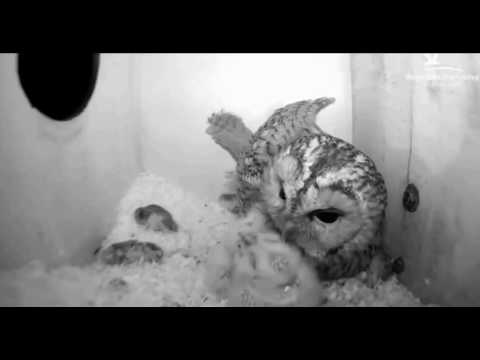 Tawny Owls: Checking Over the Chicks - 02.04.17