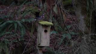 A pair of wood ducks on an old mossy nest box. 4k