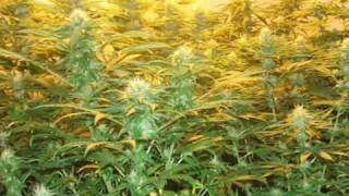 preview picture of video 'marijuana grow [spain]'