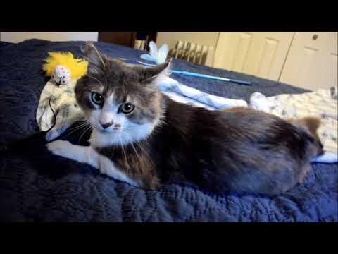 Wilbur, an adoptable Domestic Medium Hair Mix in Springfield, OR_image-1