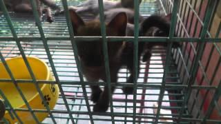 preview picture of video 'Kittens, Siamese Cat House, Ban Maeo Thai Boran, Samut Songkhram, Thailand'