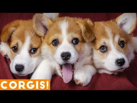 These Corgis Will Just About Melt Your Heart...