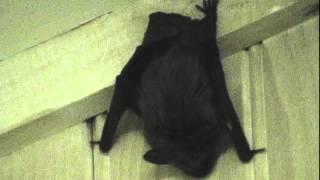 How to get a bat out of the house