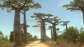 preview picture of video 'Madagascar Avenue des Baobab chameleon children some snapshots'