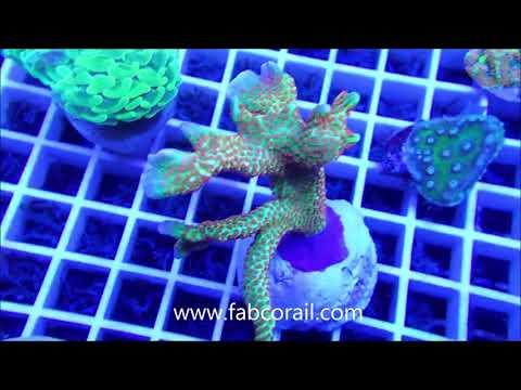 coraux chez Fabcorail