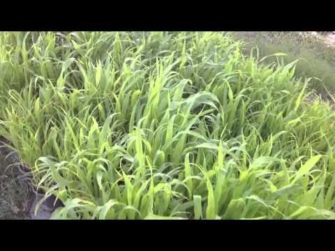 ต้นหญ้าข้าวฟ้าง