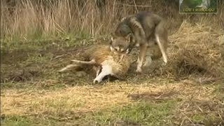 Wolf attacks sheep - UNCENSORED