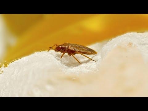 Hogyan lehet pinwormokat szerezni felnőtteknél