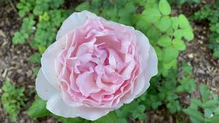 Rose - Hybrid Tea Section