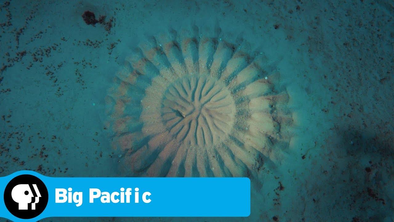 maxresdefault - #видео дня   Автором загадочных подводных кругов оказалась рыба-романтик