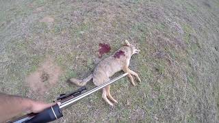 Unexpected coyote hunt:  123 AMAX damage - graphic!
