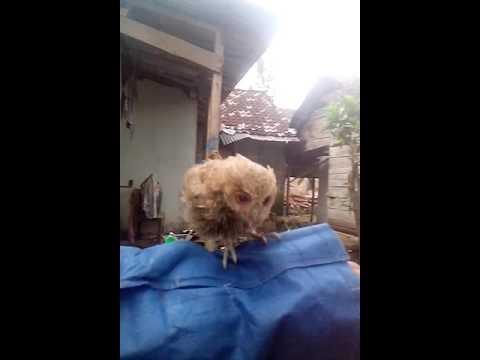 Video melatih burung Hantu