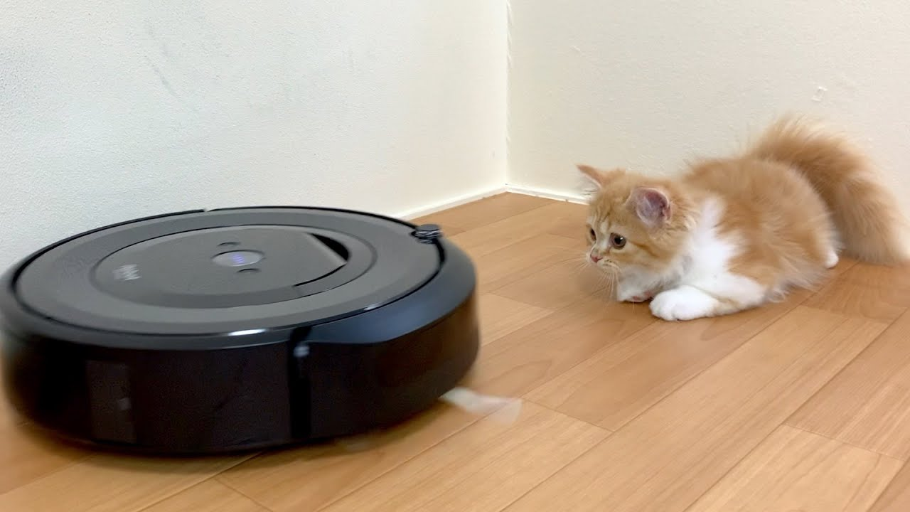 初めてのルンバにビビってしまう子猫が可愛すぎる【マンチカン】