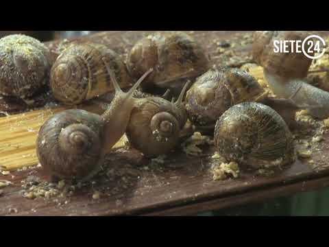 Científicos insertan memorias de un caracol a otro