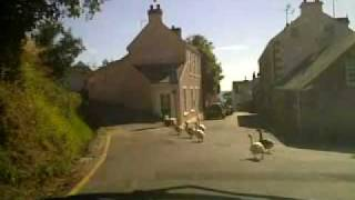 preview picture of video 'Rozel Geese Crossing'