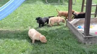 Labrador Retriever Puppies Videos