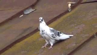 Сокол атакует голубей на Киевщене, снимает Игорь Мисник