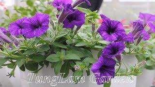 preview picture of video 'Dạ yến thảo Tím nhung đột biến - TungLam Garden'