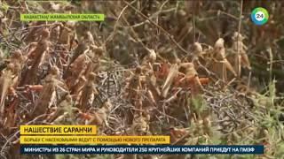 В Казахстане придумали новый препарат против саранчи