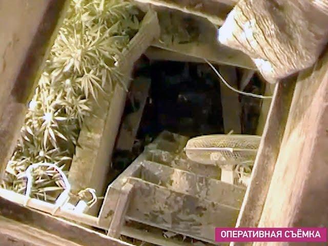 Плантацию марихуаны обнаружили в Ангарске