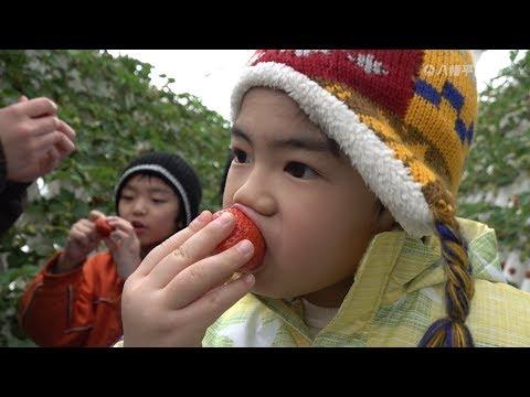 いちご摘み取り体験 東慈寺保育園_2019.02.14