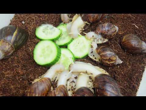 Die Speziese der Kopfparasiten
