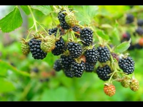 , title : 'How to Grow Blackberries - Complete Growing Guide