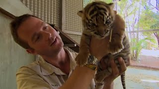 When Tigers Meet Humans | BBC Earth