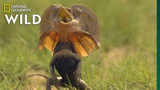 Frill-Necked Lizard Escapes Python | Lands of the Monsoon