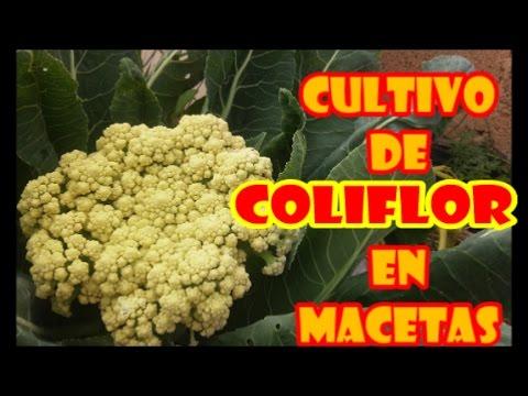 """CULTIVO DE COLIFLOR EN MACETAS [][] """"PROCESO COMPLETO"""""""