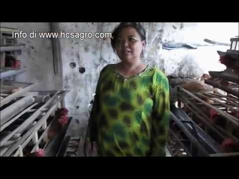 Video Ternak Ayam Petelur ala Bu Sumiyati dengan Pola HCS