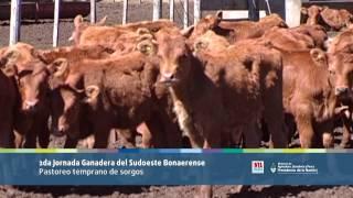 preview picture of video 'Ganadería: Pastoreo temprano de Sorgos'