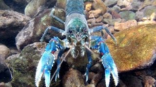 Life in Lamington National Park - Spiny Crayfish - Protected species